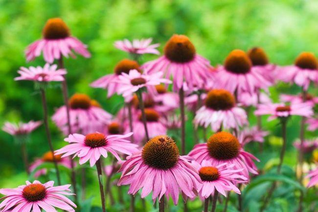 10 skäl echinacea ska växa i varje trädgård