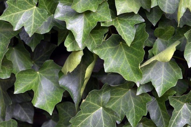 11 av de värsta växterna att växa i din trädgård