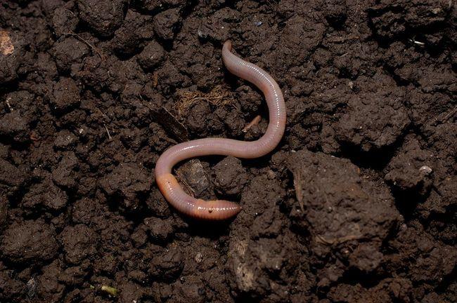 3 skäl du behöver daggmaskar i din trädgård och hur man kan locka dem