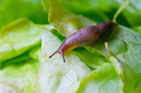 8 Naturliga sätt att hålla sniglar av din trädgård
