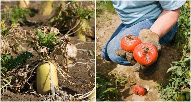 Varför är inte mina grönsaker växer? 10 misstag du gör i köksträdgården